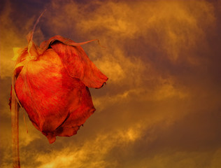 Dying rose against stormy clouds at sunset