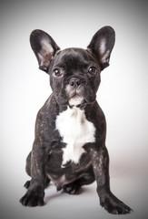 portrait of baby French bulldog