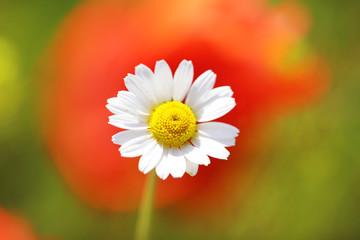 Beautiful daisy flower, outdoors