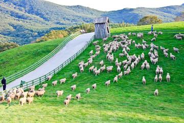 대관령 양떼목장