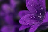 Fototapety Wet purple flower