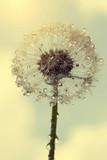 Wet dandelion - 72021602