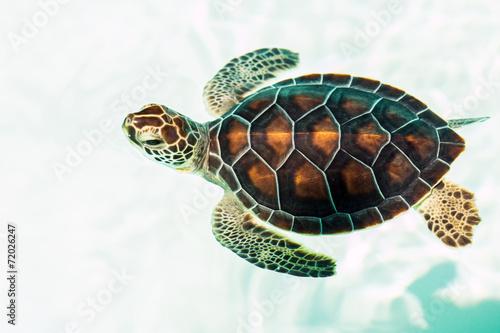 Deurstickers Schildpad Cute endangered baby turtle