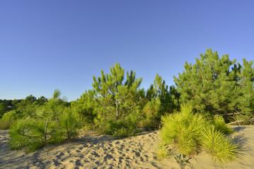 Pinède sur dunes de sable