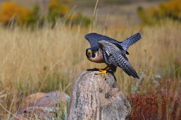Peregrine falcon sitting on a rock