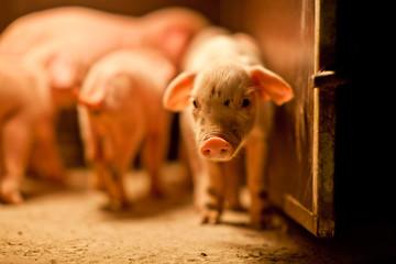 돼지 농장