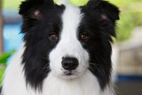 tame border collie poster