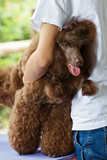 tame brown poodle poster