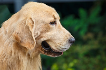 Close shot golden retriever lovely expression.