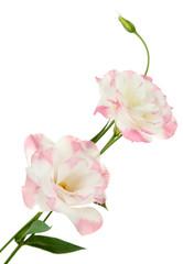Beautiful eustoma flower isolated on white