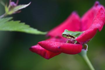 赤い薔薇にアマガエル