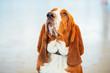 White And Brown Basset Hound Dog Close Up Portrait