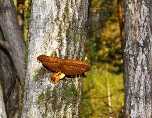 поганка на дереве