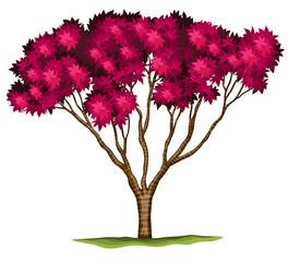 A bloodgood Japanese maple plant