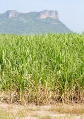 Crop Sugarcane.