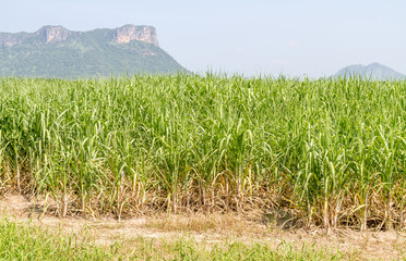 Farm crop Sugarcane.