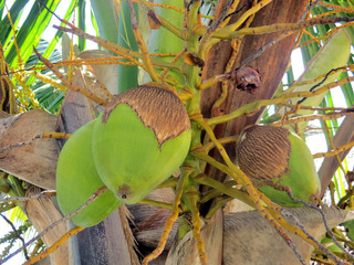 Coconuts growing in a tree on a tropical island