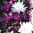 Bouquet of stylized  chrysanthemums on black background
