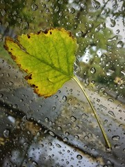 Fallen leaf on the wet glass  vertical