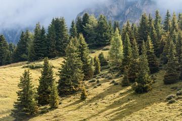 spruce trees growing on alpine meadow