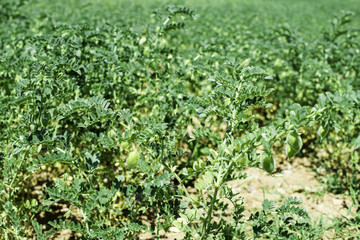 Chickpeas plantation