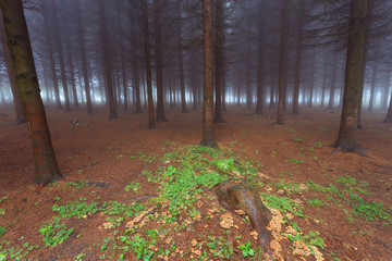 Evergreen forest in the fog