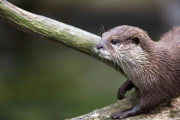 An oriental small-clawed otter / Aonyx cinerea /