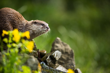 An oriental small-clawed otter / Aonyx cinerea /