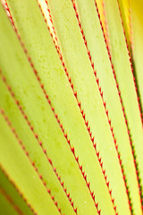 feuilles épineuses du vacoa pandanus