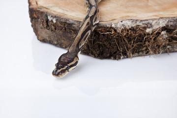 Python on the wood isolated white background