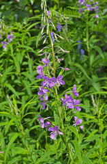 Willow-herb 4