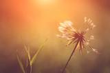Closeup photo of dandelion at sunrise - 72050869