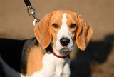 Photo of a Beagle dog