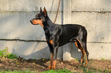 Chained Doberman Pinscher