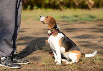 Photo of a Beagle dog with owner