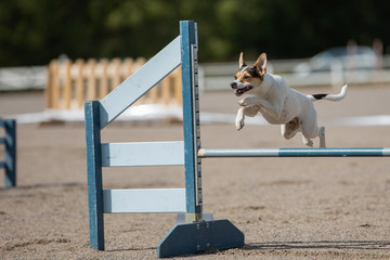 Dog jumps over an hurdle in agility competition