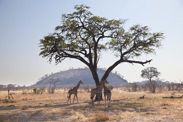 Group of wild african giraffes under a tree