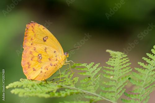 canvas print picture Schmetterling
