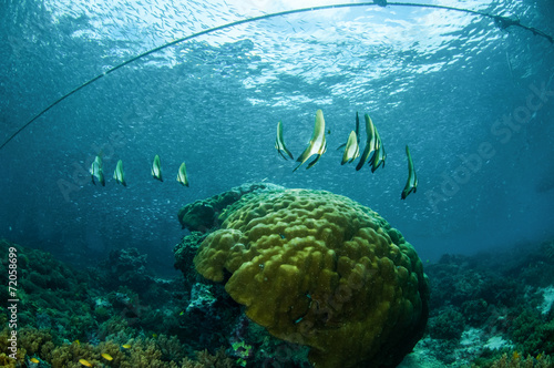 Poster Water planten Batfish juv swim, Gili Lombok Nusa Tenggara Barat underwater