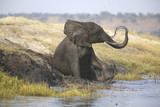 Wild african elephant bull mud-showering