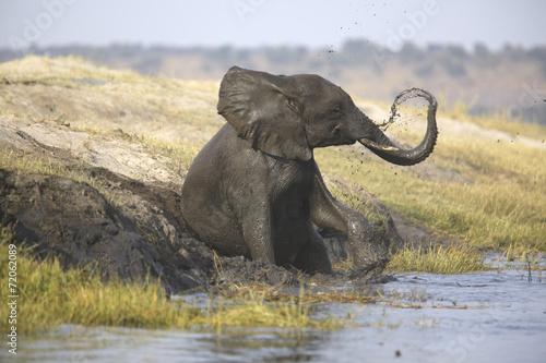 Wild african elephant bull mud-showering - 72062089