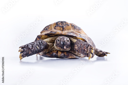 Foto op Canvas Schildpad Turtle on a white background