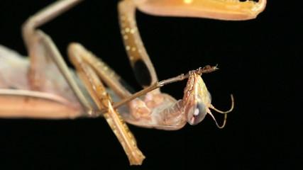 Praying Mantis Cleaning Itself