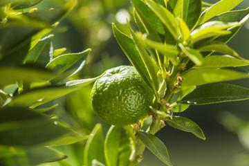 Chinotto Frucht