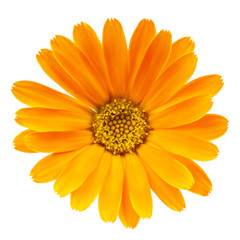 Calendula flower isolated on white background
