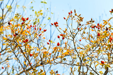 berry of brier and blue sky in autumn