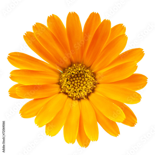 Poster Madeliefjes Calendula flower isolated on white background