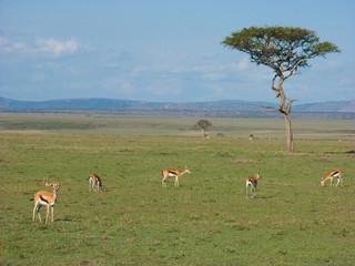 Thomson's gazelles (Gazella thomsonii)