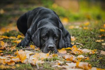 black labrador autumn in nature, vintage