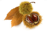 organic chestnuts with leaves isolated